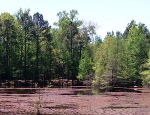 Abbey Nature Preserve (Public) Pender County
