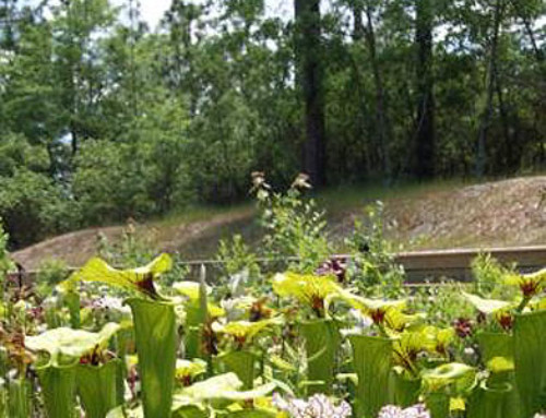 Stanley Rehder Carnivorous Plant Garden at Piney Ridge Nature Preserve